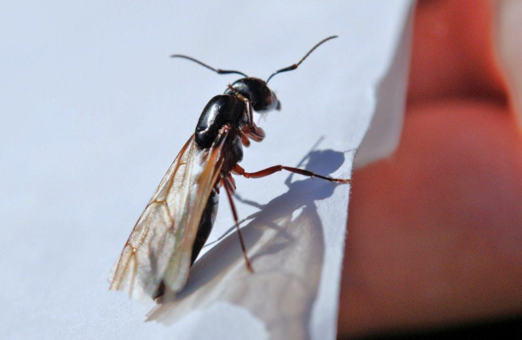 flying ants vs termites